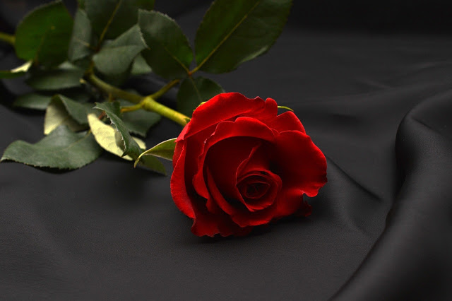 Happy Rose Day Pictures Download